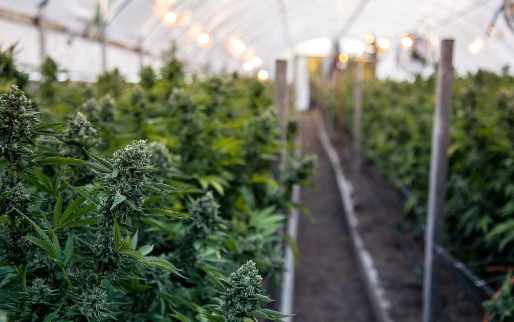 Poll: Should Marijuana Be Federally Legalized?